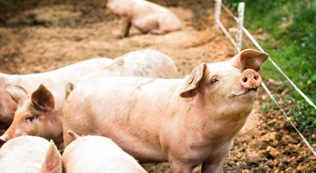 Ardanowski: USA ze względów politycznych wstrzymały import wieprzowiny z Polski