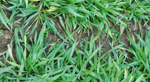 Późnojesienne odchwaszczanie zbóż ozimych