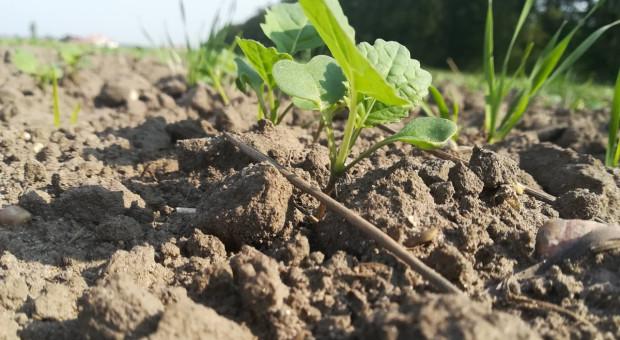 Zarejestrowane herbicydy w rzepaku w Polsce i krajach sąsiednich