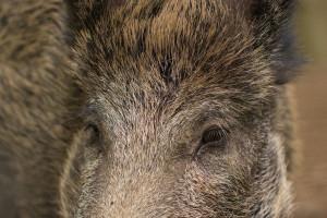 Blisko 120 nowych przypadków afrykańskiego pomoru świń