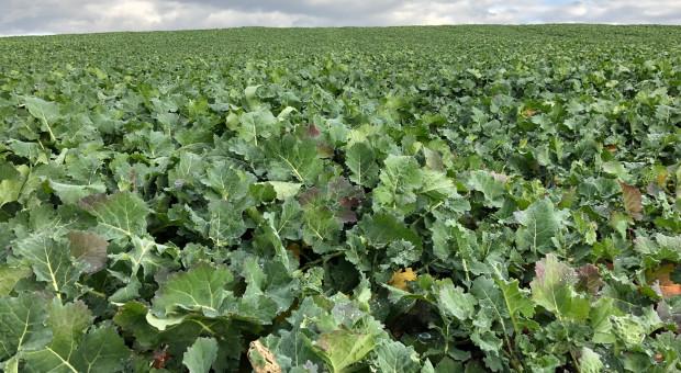 Temperatura powietrza a skuteczność zabiegu herbicydowego – rzepak