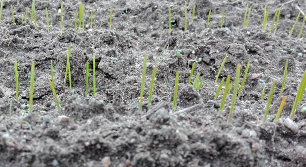 Trzy żelazne zasady siewu pszenicy w terminie opóźnionym