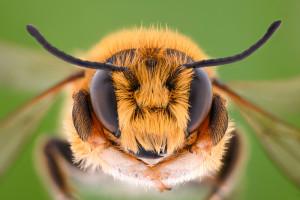 Podlaskie: gmina Płaska chce chronić pszczołę augustowską