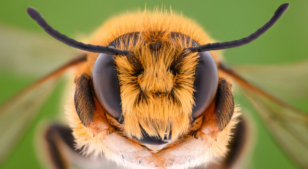 Pszczoły miodne zagrożone z powodu środków na komary