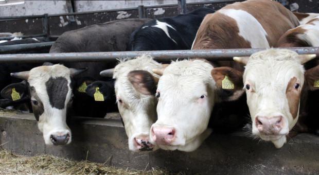 Ceny bydła lekko spadły