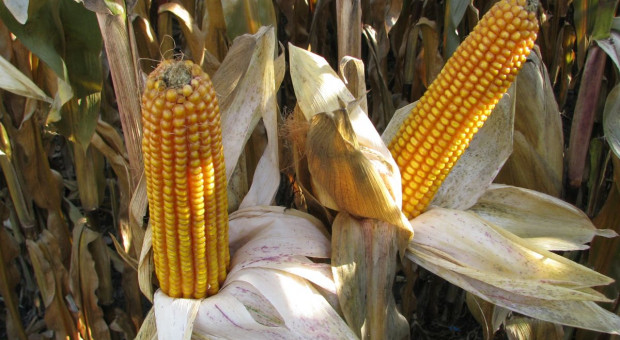 Ile materiału siewnego kukurydzy w nowym sezonie?