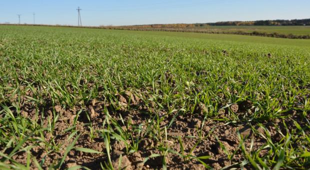 Stan zdrowotny zbóż na zachodzie kraju