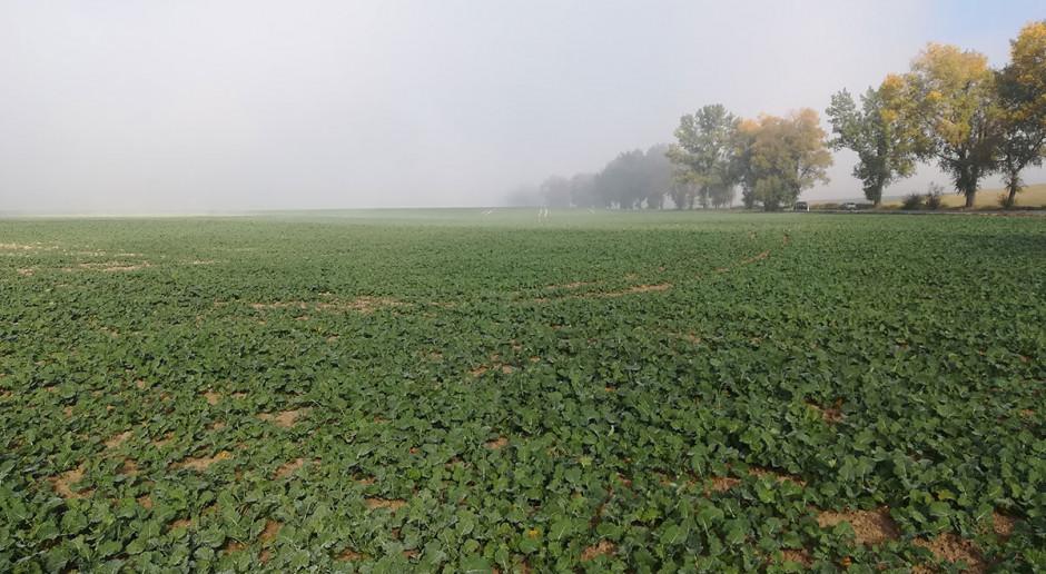 Ocenić stan plantacji rzepaku przed zimą