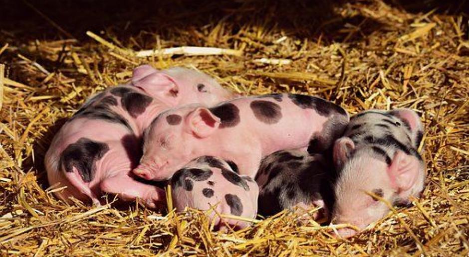 Z dostępnych 9 mln euro wykorzystaliśmy 5,5 mln zł na pomoc dla małych hodowców świń