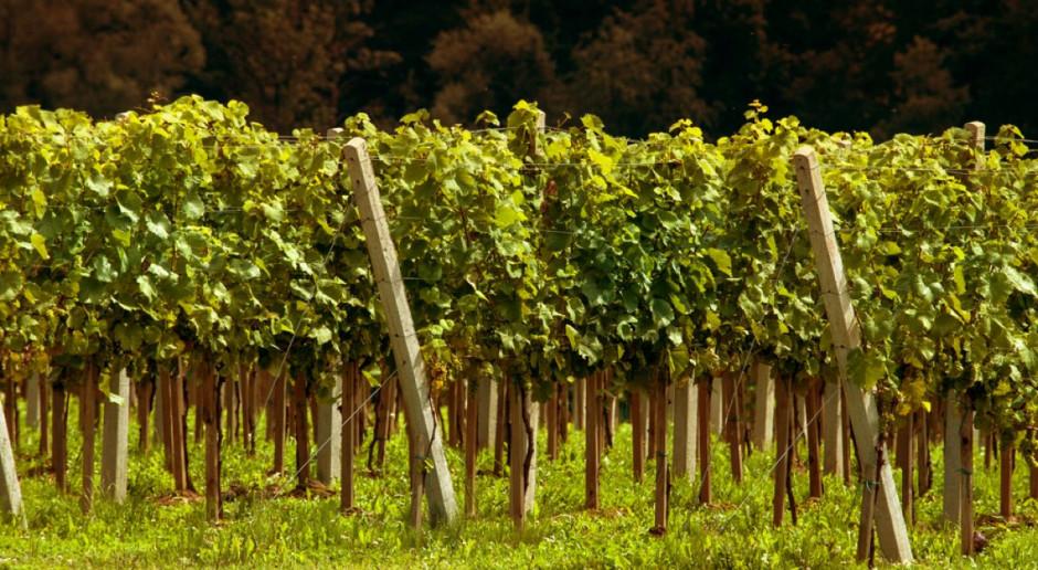 Węgry: zmiany klimatyczne odbijają się na sektorze winiarskim