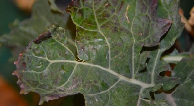 Żółknące zboże, fioletowe liście, mszyce, wybujały rzepak – odpowiedzi na pytania rolników podczas konferencji