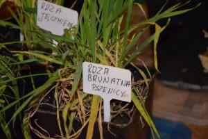 Objawy rdzy brunatnej pszenicy - punkt ekspercki, fot. M. Tyszka