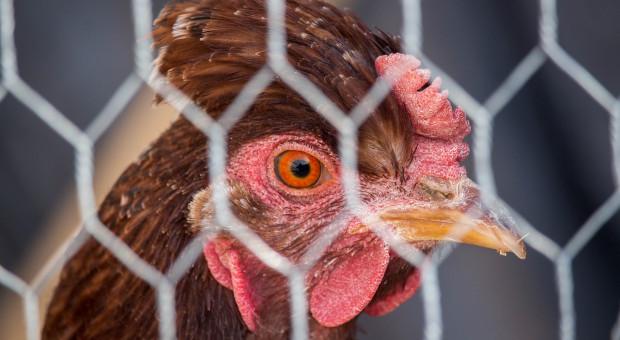 Kalifornia: Kury bez klatek od 2022 roku