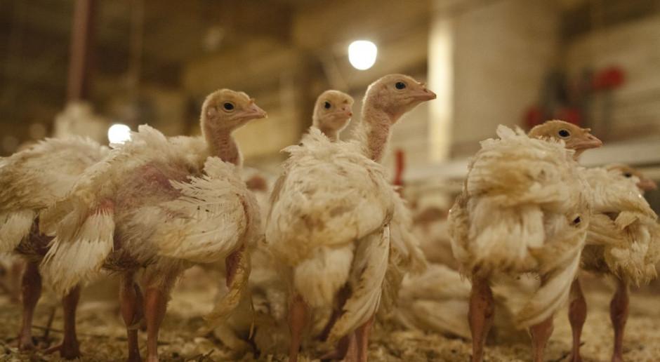 Na Lubelszczyźnie trwa likwidacja ognisk ptasiej grypy