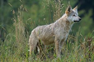 Rolnicy liczą straty, ale kto liczy wilki?