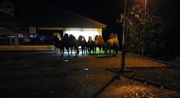 Stado wielbłądów odwiedziło Lidla