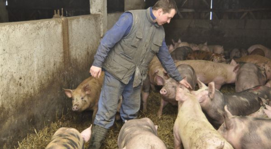 To już nie krzyk ale płacz rozpaczy – tak dzisiaj mówią hodowcy świń