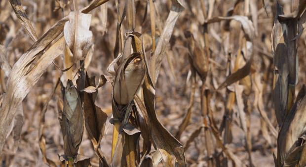 IERiGŻ: straty w rolnictwie z powodu suszy zapewne podobne do tych z ubiegłego roku