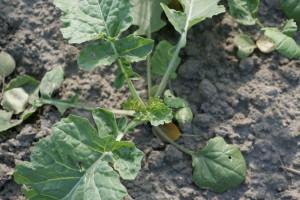 Dr hab. Skowera: Długa ciepła jesień to zagrożenie dla roślin ozimych