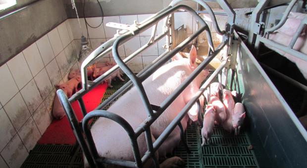 W krajach, gdzie był ASF pogłowie świń zwykle spadało – u nas jest inaczej