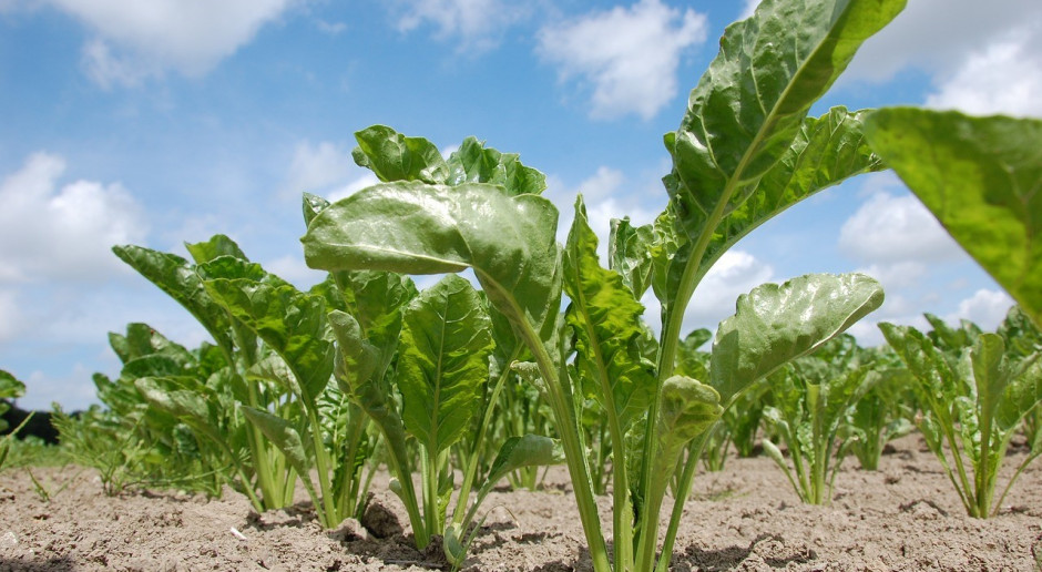 KE oczekuje spadku areału uprawy buraków cukrowych