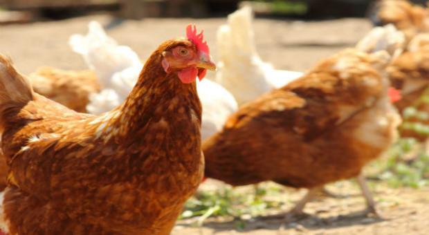 Grypa ptaków szaleje w Bułgarii