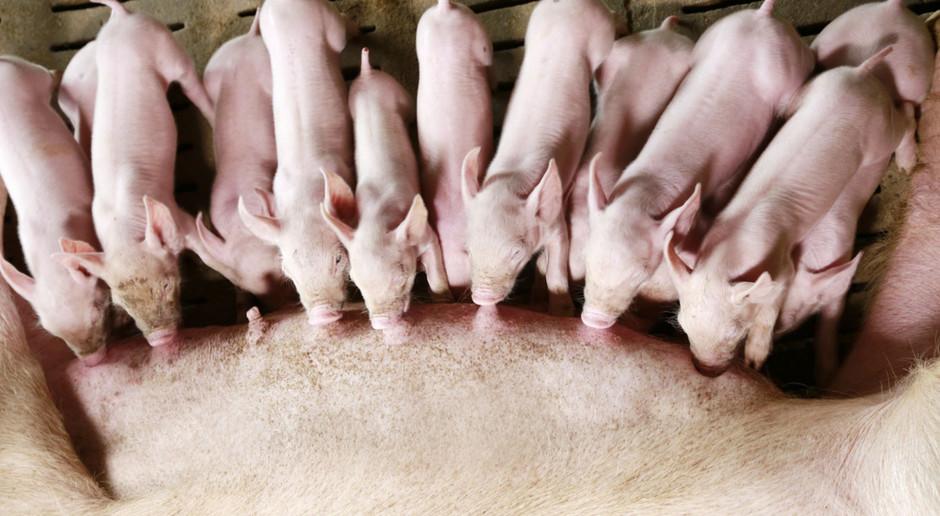 Dążenie do ekstremalnych wyników produkcyjnych świń, nie zawsze jest uzasadnione