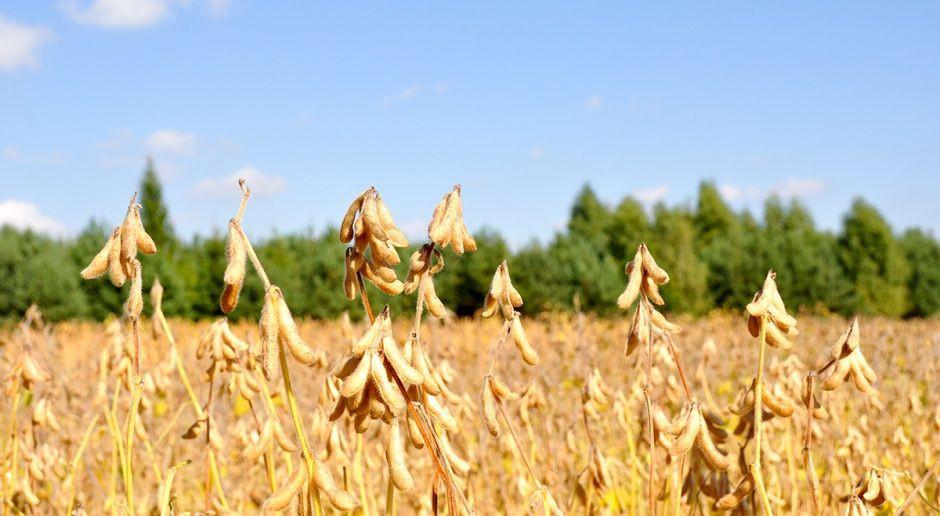 IGC obniża światową prognozę produkcji soi  w sezonie 2018/2019