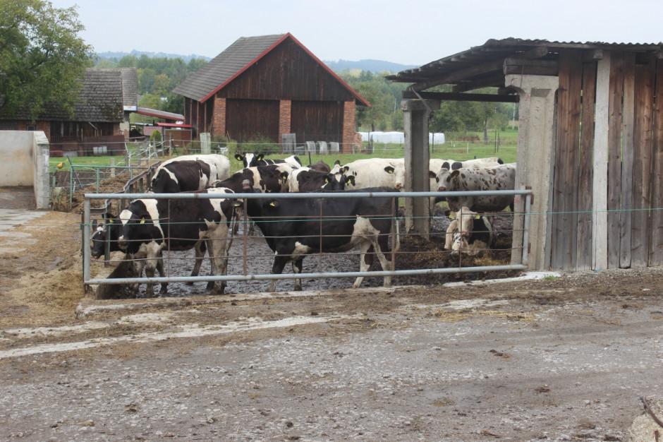 Oprócz 50 krów dojnych jest jeszcze ok. 50 szt. opasów i tyle samo młodzieży, fot.kh