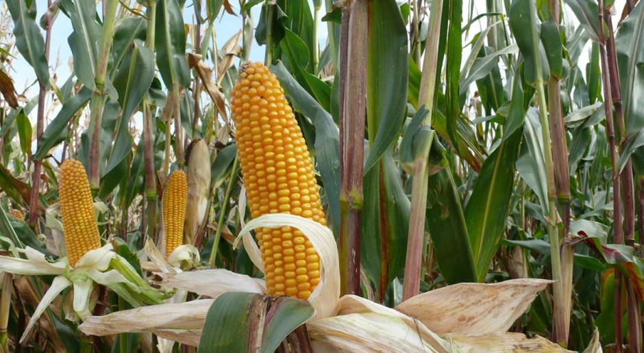 Ile sypnęła kukurydza ziarnowa?