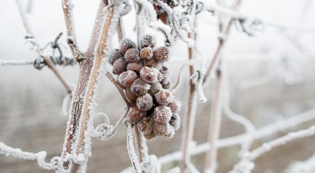 Jasło: Winiarze skorzystali z mroźnej pogody - robią lodowe wino