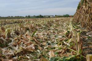 Resztki pożniwne po kukurydzy zwykle zniszczone