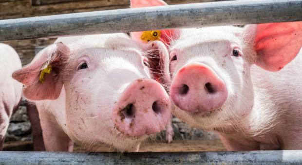 UE: Stabilizacja cen skupu świń rzeźnych