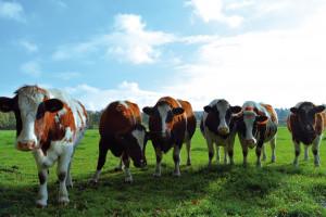 UE: Rolnictwo ekologiczne - coraz więcej bydła