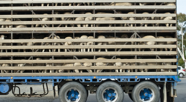 PE: Europosłowie wzywają do uzależnienia dotacji od traktowania zwierząt