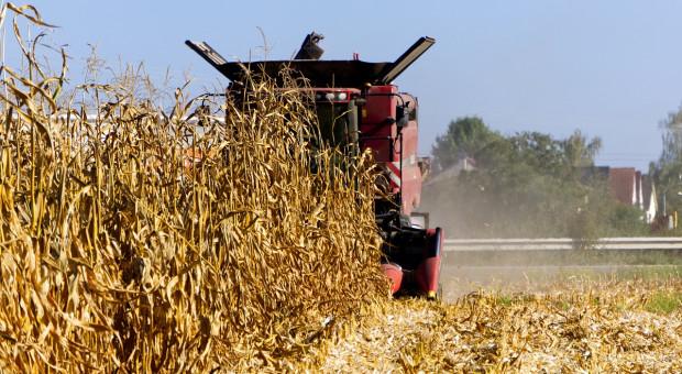 Niemcy: Drastyczny spadek plonów kukurydzy na kiszonkę i na ziarno