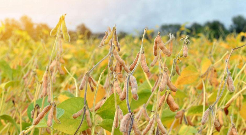 Większa możliwość ochrony roślin bobowatych?