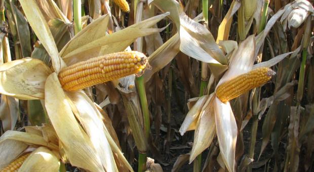 PDO 2018: Plon kukurydzy ziarnowej – odmiany średnio wczesne
