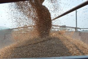 Ukraina: wyższa produkcja i eksport zbóż oraz nasion strączkowych