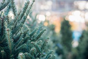 Włochy: Sprzedano setki świątecznych choinek ze zniszczonych lasów