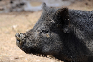 ASF eliminuje niektóre rasy świń na Ukrainie