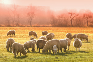 IERiGŻ: W pierwszej połowie 2018 r. ceny jagniąt w UE obniżały się, a owiec ciężkich rosły