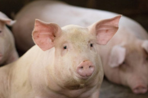 UE: Ceny skupu świń rzeźnych na ogół stabilne