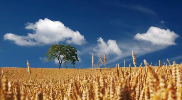 USDA: Wzrosła prognoza światowej produkcji pszenicy w sezonie 2018/2019