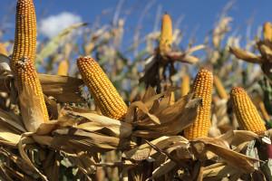 Cennik odmian kukurydzy premium firmy IGP Polska