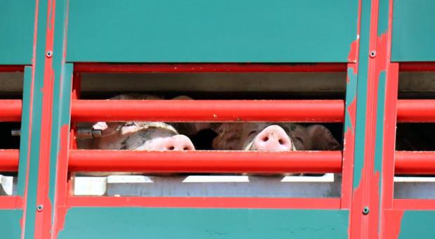 Będzie dymisja osoby, która zgodziła się na import świń z Litwy ze strefy czerwonej