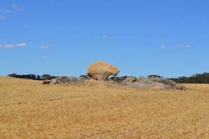 Australia: Susza niszczy zbiory zbóż