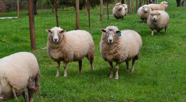 Australia: Wstrzymano letni eksport żywych owiec