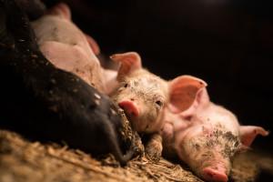 Prezes Agro Gobarto o sytuacji na rynku trzody chlewnej: już dawno nie było tak źle
