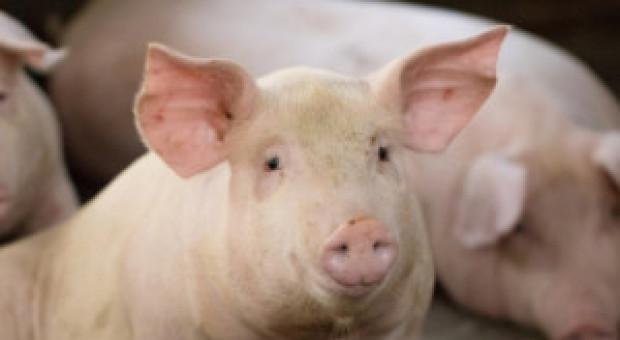 ASF: Do tej pory zabito w Chinach ponad 630 000 świń
